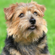 Norfolk terrier on a green grass lawn — Stock Photo