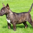 Miniature Bull Terrier — Stock Photo