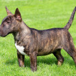 Stock Photo: Miniature Bull Terrier