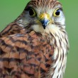 Stock Photo: Portrait of Northern Goshawk