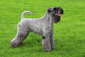 Portrait of Kerry Blue Terrier — Stock Photo