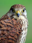 Portrait of Northern Goshawk — Stock Photo