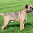 Border terrier on a green grass lawn — Stock Photo #33769317