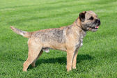 Border terrier on a green grass lawn — Stock Photo