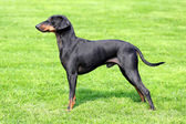 Manchester Terrier on a green grass lawn — Stock Photo