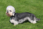 Dandie Dinmont Terrier on a green grass lawn — Stock Photo
