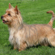 Australian Terrier on a green grass lawn — Stock Photo