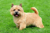 The typical Norwich Terrier on a green grass lawn — Stock Photo