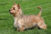 Australian Terrier on a green grass lawn — Stock Photo
