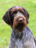 The typical Bohemian wire-haired Pointing Griffon — Stock Photo