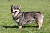 The typical Swedish Vallhund in the garden — Stock Photo