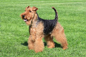 Typical Welsh Terrier in a summer garden — Stock Photo