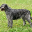 Typical grey Irish Wolfhound — Stock Photo #35446069
