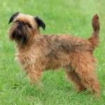 Typical Griffon Bruxellois dog — Stock Photo #35446093