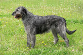 Typical grey Irish Wolfhound — Stock Photo