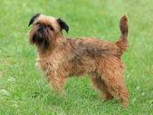 Typical Griffon Bruxellois dog — Stock Photo