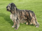 Portrait of Bergamasco Shepherd dog — Stock Photo
