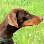 Typical Dobermann dog in a garden — Stock Photo #36714043