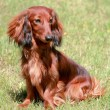 Dachshund Standard Long-haired Red dog — Stock Photo