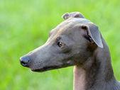 The portrait of Italian Greyhound — Foto Stock