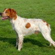 Typical spotted Brittany Spaniel dog — Stock Photo #37148715
