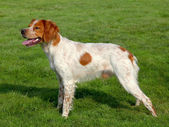 Typical spotted Brittany Spaniel dog — Stock Photo