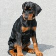 Typical Dobermann Puppy — Stock Photo #38335235