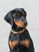 Typical Dobermann Puppy — Stock Photo