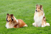 Two Collie Rough in a summer garden — Stock Photo