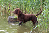 American Water Spaniel in a river — Stock Photo
