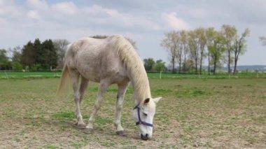 Witte paard op de ranch — Stockvideo