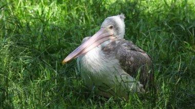 Jonge witte pelikaan zittend op het gras — Stockvideo