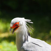 Detail of Secretary bird (Sagittarius serpentarius) on a green b — Stock Photo