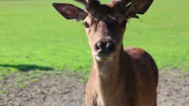 Detail of fallow deer — Stock Video