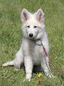 Portrait of White Swiss Shepherd Dog in the garden — Stock Photo