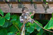 Little monkey on the tree — Stock Photo