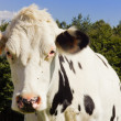 Cow close-up — Stock Photo