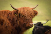 Red bison closeup — Stock Photo