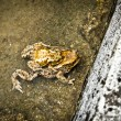 Mating toads behind a wall — Stock Photo