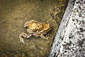 Bir duvarın arkasında toads çiftleşme — Stok fotoğraf