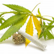 Hemp (cannabis) — Stock Photo #13594397