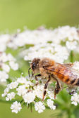 Macro photography of bee — Stock Photo