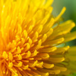 Stock Photo: Common dandelion