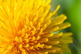 Common dandelion — Stock Photo