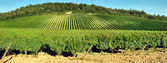 Vineyard in countryside — Stock Photo