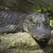 Stock Photo: Chinese alligator