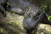 Chinese alligator — Stock Photo