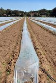 Campo de cultivos de hortalizas en hileras cubierta con protección campanas de cristal de polietileno — Foto de Stock