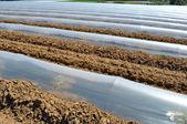 Alan satırında sebze bitkileri polietilenler cloches koruma ile kaplı — Stok fotoğraf