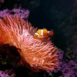 Stock Video: Clown Fish with Anemone